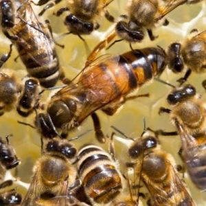 The Importance of the Queen Bee