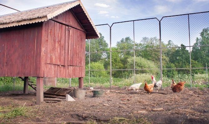 3 Tips for Predator-Proofing Your Chicken Coop
