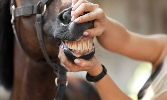 How To Protect Your Horse's Teeth